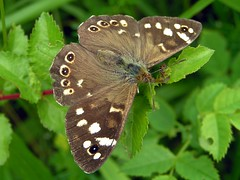 "Speckled Wood butterfly (Alan Allport) • <a style=""font-size:0.8em;"" href=""http://www.flickr.com/photos/60890513@N06/7039123775/"" target=""_blank"">View on Flickr</a>"