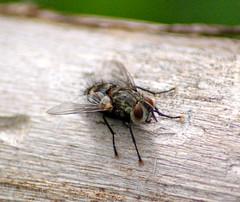 Macro Fly (JBadumPhoto) Tags: insect fly macrophotograph
