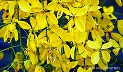 kanikonna @ Golden Shower (smartmale...) Tags: vishu goldenshower kanikonna