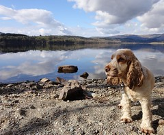Rona at Loch Venacher   ( Explore 17 Apr 2012) (cocopie) Tags: rona lochvenacher orangeroancockerspaniel