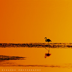 Reflection.. (ZiZLoSs) Tags: sunset orange yellow canon eos zoom background flamingo kuwait usm abdulaziz 600d f56l abdulrahman zizloss ef400mm almanie canon600d