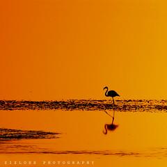 Reflection.. (ZiZLoSs) Tags: sunset orange yellow canon eos zoom background flamingo kuwait usm abdulaziz 600d f56l abdulrahman zizloss ef400mm almanie canon600d