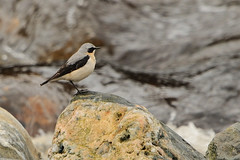 Wheatear. (stonefaction) Tags: nature birds scotland angus wildlife faved