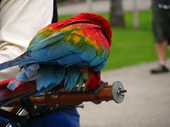 IMG_9989 (spellingwitch) Tags: ocean california ca trip travel beach birds la losangeles pacific santamonica parrot santamonicapier macaw parrots jacksparrow