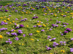 Wunderbare Welt des Frhlings - wonderful world of spring (Sockenhummel) Tags: fuji wiese crocus fujifilm x20 krokus frhling crocuses krokusse britzergarten fujifilmx20