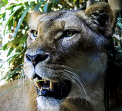 IMG_1198 (rojam1000) Tags: birds penguin gorilla bears tiger lion deer leopard lemur tigers lions crocodile seals monkeys cheetah amphibians lizards apes bigcats cheetahs reptiles primates meerkats leopards