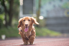 Panini (Taipei street life) Tags: dog pet smile paw run dachshund jog