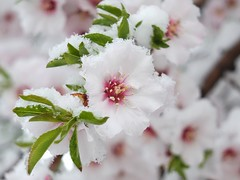 Marzo (Patataasada) Tags: winter snow flower macro primavera march spring nieve flor invierno marzo almendro