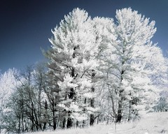 Everwhites (Thomas James Caldwell) Tags: blue trees white color nature ir pennsylvania pa evergreens infrared false