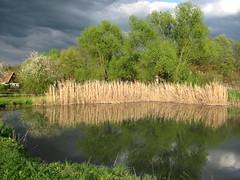 IMG_4031 (germancute) Tags: flower nature pond blossom blume teich