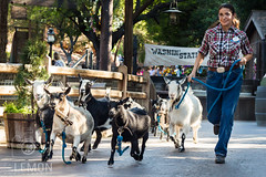 Homeward Bound!.jpg (c-lemon) Tags: canon 50mm cowboy disneyland adorable goat pettingzoo dlr stampede frontierland disneylandresort castmember niftyfifty goatrun bigthunderranch disneyparks canont4i