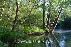 Alnus glutinosa (SUBENUIX) Tags: tree forest arbol paisaje bosque lea arbre euskadi bosc autoctono alnusglutinosa leaartibai arbolhojasimple floraeuskadi