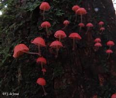 Mycena sp. (F.J.De Jesus) Tags: vermelho fungi cogumelo mycena salespolis