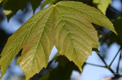 50-IMG_1172 (hemingwayfoto) Tags: flickr natur pflanze blatt baum ahorn maserung schdling blattgrn