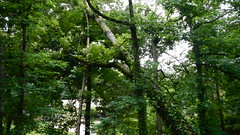DSCN1410 (VerlynC) Tags: tree falling hickory