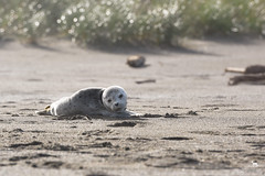 waiting for mom (Claudia Knkel) Tags: baby beach oregon backlit pup harborseal