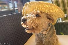 Hoffentlich geht sie morgen aus dem Haus oder (rentmam1) Tags: dog hund lakelandterrier motte