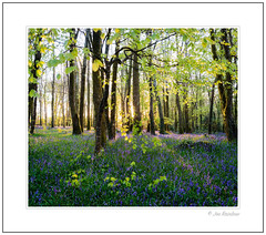 Heaven Scent (Joe Rainbow) Tags: trees light panorama nature leaves bluebells sunrise woodland landscape woods flora cornwall stitch bluebell