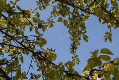 The Plane (modestmoze) Tags: blue trees sky brown white black tree nature up leaves plane outside outdoors one flying high warm day shadows view space branches flight sunny fresh blooms lithuania appletree blooming fumes 2016 alytus 500px
