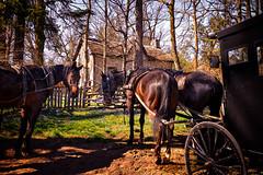 neigh parking (JimfromCanada) Tags: horse vintage waiting rustic transportation wait nostalgic harness buggy brilliant elora mennonite