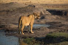 Stumpy Tail lioness at Madison Pan (Back Pans Pride) (Ring a Ding Ding) Tags: africa wild female cat canon wildlife lion safari zimbabwe predator cecil pantheraleo hwangenationalpark linkwasha matabelelandnorth