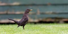 Female Blackbird (The Pixel and Eye) Tags: bird female danger warning turdusmerula blackbird alert gardenbird