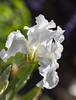 White Bearded Iris_MG_0011 (918monty) Tags: iris texas allen peaceful springtime beardediris purity mayflowers collincountytexas whitebeardediris regalflower