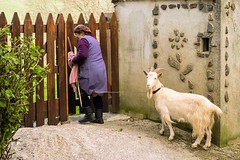 The daily routine (Alfredo Mateus Photography) Tags: woman portugal animal village goat shale schist gondramaz mirandadocorvo
