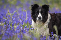 21/52 'That's why they call it the Blues' (JJFET) Tags: flowers dog mist dogs bluebells for collie 21 sheepdog border weeks 52