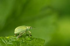 Charançon_vert_pâle (Elisabeth Lys) Tags: d7200 insecte charançon sigma105mm flickrfriday gogreen