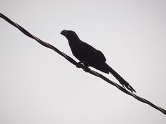 DSC04094 Anu-Preto (familiapratta) Tags: bird nature birds brasil iso100 sony natureza pssaro aves americana pssaros americanasp hx100v dschx100v