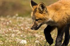 Red Fox Kit (Vulpes vulpes) - Washington State (bcbirdergirl) Tags: usa baby bunny amazing magic surreal fox kits wa kit rabbits washingtonstate foxes redfox vulpesvulpes babyfox