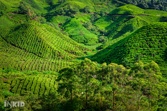 Boh Tea Plantations, Cameron Highlands (inkid) Tags: travel green zeiss lens t landscape 50mm highlands tea f14 sony cameron carl malaysia za boh planar plantations a900