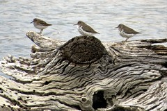 One of These Birds Is Not Like the Others (Patricia Henschen) Tags: ranch birds spring colorado coloradosprings spotted migration sandpiper least shorebirds chicobasinranch