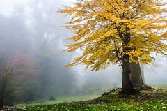 Autumn (Esmaeel Bagherian) Tags: autumn tree fall yellow forest landscape nikon ایران درخت زرد پاییز 2015 1394 جنگل نیکون جنگلتوسکستان nikond7000 اسماعیلباقریان esmaeelbagherian جنگلمهآلود مناظرپاییزی