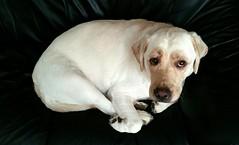 Gracie woken from a nap (walneylad) Tags: dog pet cute puppy spring gracie lab labrador may canine labradorretriever northvancouver