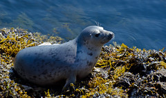 Common seal (JanuaryJoe) Tags: scotland orkney scottish seals holm howequoy