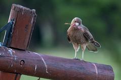 Chimango (Marcos Lozadam63) Tags: patagonia aves comiendo pajarito guila alimentacin rapaces carroero cadenaalimentaria nikond90 alimentaciondelaguilucho restosdepajaro
