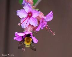 Bee ( Annieta ) Tags: flower netherlands fleur garden spring flora sony ngc nederland jardin mei tuin lente allrightsreserved bloem 2016 krimpenerwaard annieta a6000 usingthispicturewithoutpermissionisillegal