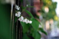Street Flower (Nikan Likan) Tags: street paris flower color macro green field photography 50mm bokeh mount pk smc depth f28 | 2016 28 pentaxa