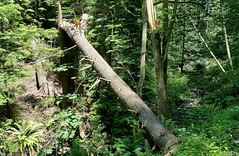 Fallen old tree (walneylad) Tags: park shadow sun canada tree green nature leaves june forest woodland moss spring woods rainforest scenery timber britishcolumbia branches trail evergreen stump trunk urbanforest northvancouver ferns conifer urbanpark mahonpark