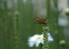 Halloween Pennant (KsCattails) Tags: summer halloween insect dragonfly daisy kansas pennant overlandparkarboretum gayfeather nikond7000 kscattails