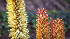Creamy Spike (Theen ...) Tags: adelaide botanicgardens cream flower green hot lumix orange pink poker red spikes theen