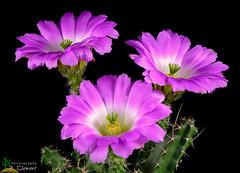 Echinocereus pentalophus v.inermis (clement_peiffer) Tags: flowerscolors cactus echinocereus