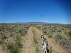 Yutah @YutahW (YutahtheWolamute) Tags: wolfdoh wolamute dog malamute trail adventure hiking easterh washington fun summer sun quincy yutahw yutahthewolfdog