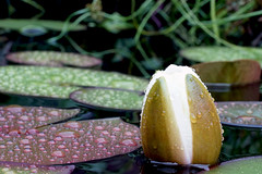 View over the pond (Wim van Bezouw) Tags: plant nature water drops pond lily