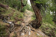 Alphorn Country (Toni_V) Tags: leica tree nature landscape schweiz switzerland europe dof suisse bokeh hiking 28mm rangefinder trail mp svizzera sentiero wanderung wanderweg randonne 2016 alphorn svizra parcnaziunalsvizzer escursione leicam unterengadin elmaritm engiadinabassa schweizerischernationalpark niksoftware messsucher 160618 spltal typ240 analogefexpro2 toniv murtersattel furcladamurter m2400379
