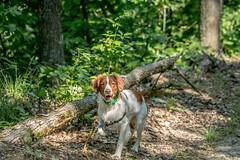 Injun (gentelflwr) Tags: dog brittany pointing