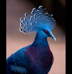 Victoria Crowned Pigeon (Steve Wilson - classic view please) Tags: new uk greatbritain blue portrait england macro bird nature up animal gardens closeup forest garden zoo guinea big nikon close cheshire britain pigeon wildlife great large conservation victoria chester swamp tropical species endangered d200 captive biggest avian largest captivity newguinea upton crowned chesterzoo endangeredspecies zoological victoriacrownedpigeon zoologicalgarden zoologicalgardens crownedpigeon nikond200 rarer caughall