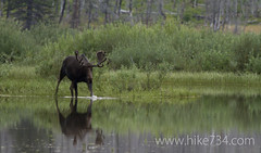 """Moose in Red Eagle Lake • <a style=""""font-size:0.8em;"""" href=""""http://www.flickr.com/photos/63501323@N07/6775227890/"""" target=""""_blank"""">View on Flickr</a>"""